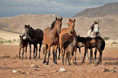 Come to Ranch Koiimasis in Namibia and get to know our great Quarter Horses. Komm nach Namibia, auf die Ranch Koiimasis und lerne unsere tollen Quarter Horses kennen.