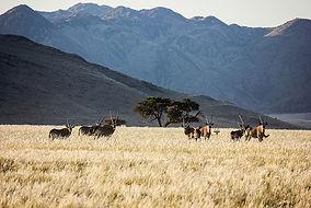 oryx-gazella