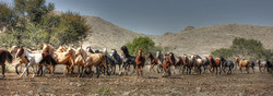 Young stallions on Ranch Korais
