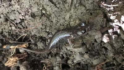 190317_arboreal salamander.jpeg
