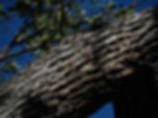 valley oak savanna.jpg