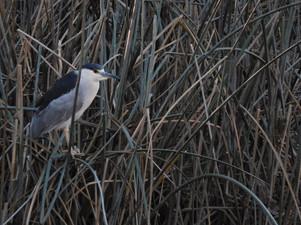 Night heron!