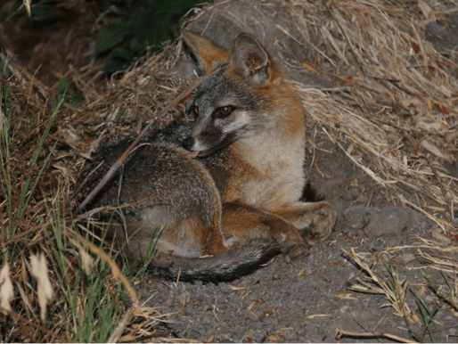 What's In Your Watershed: Gray Fox