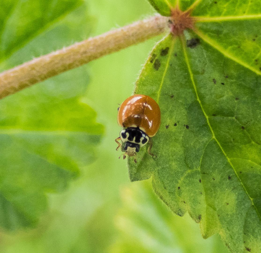 western spotless beetle.jpg