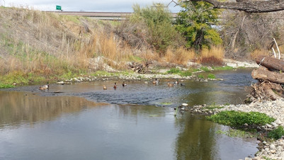 Ducks on Guadalupe River