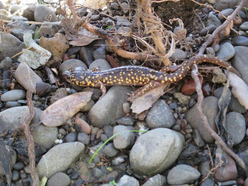 Arboreal Salamander, highly mottled