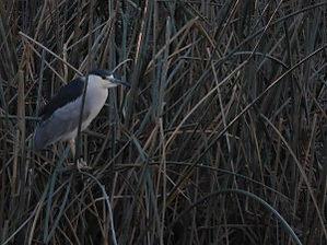 night-heron.jpg