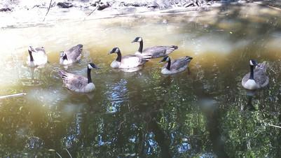 Kelley Park geese