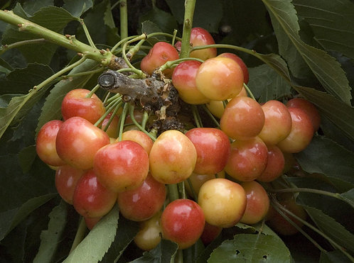 Royal Rainier Cherry