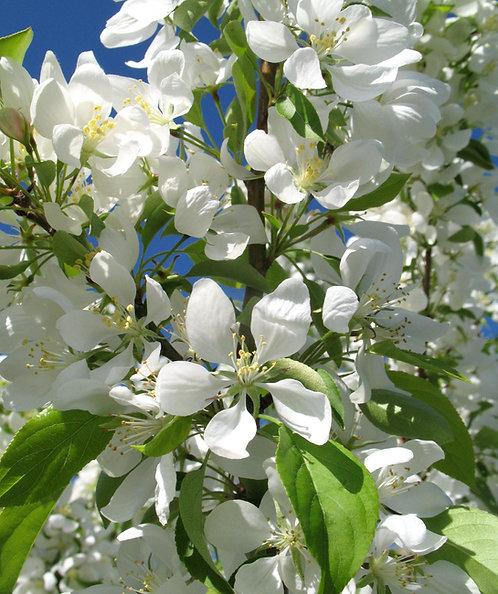 Spring Snow Flowering Crabapple