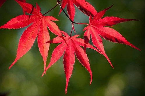 Red Leaf (atropurpureum) 4-5'