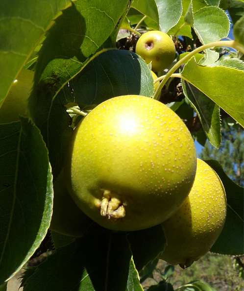 Kikusui Asian Pear