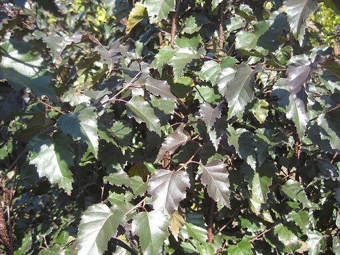 Royal Frost White Birch