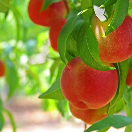 Contender Peach