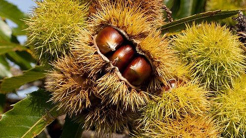 Nevada Chestnut