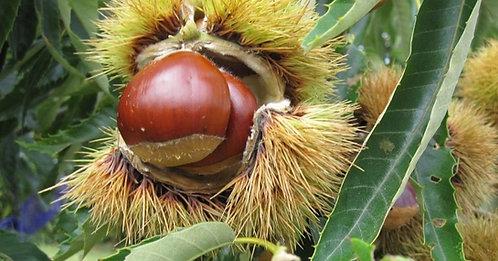 Colossal Chestnut