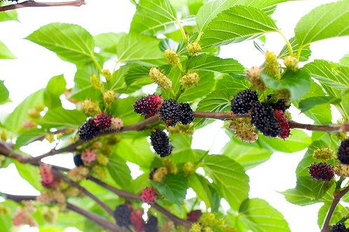 Black Beauty Mulberry