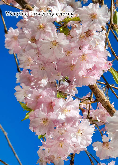Weeping Double Flowering Cherry