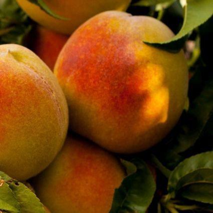 Garden Gold Dwarf Peach