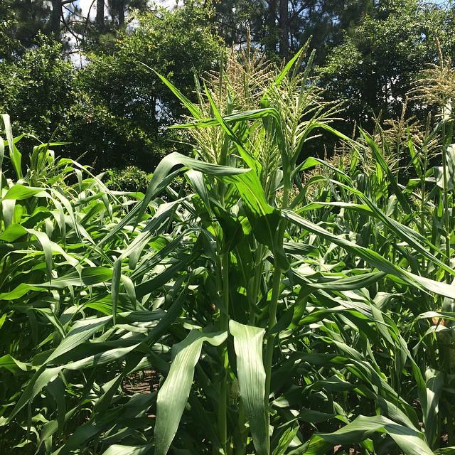 Crazy corn rows