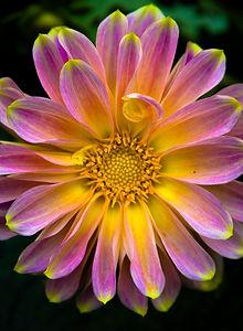 פרח באור שמש