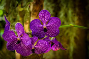 "Orchids 16 x 24""  Metal Print  $435"