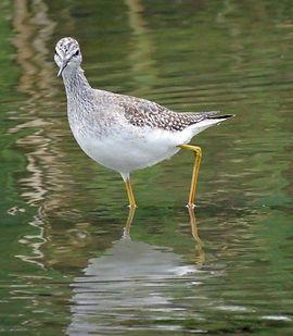 Greater Yellowlegs photo by Marg Cuthbert