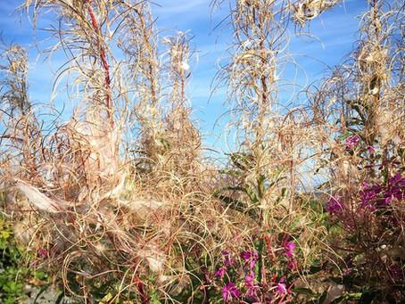 Fireweed Seeds