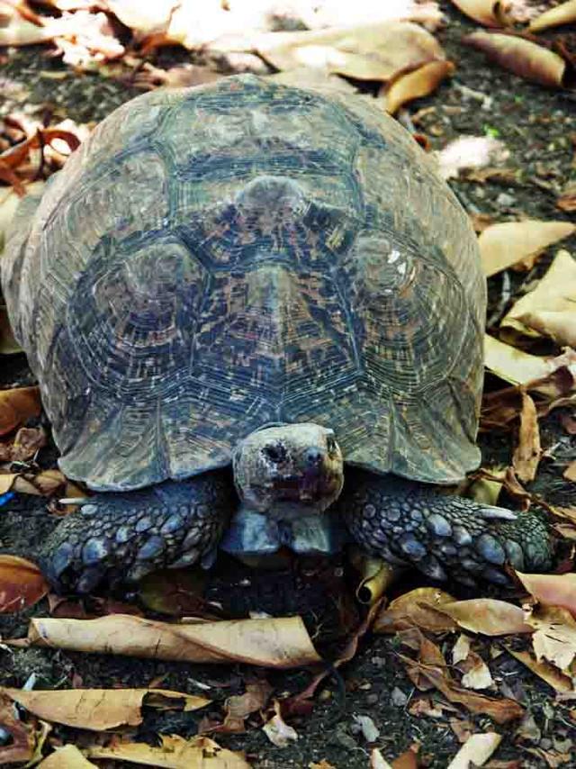 Jorgensen's Tortoise Vinnige Fanie