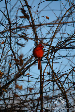 Cardinal 2017