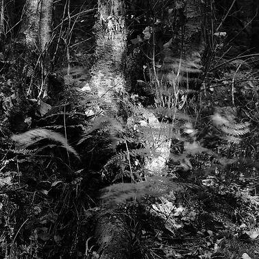 kosteikko, metsä, saniaiset, hiljaisuus, rauha, tuuli, huiska, varjot, mustavalkokuva