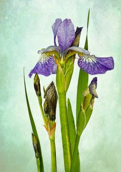 Colour Print - Iris sibirica by Beryl Woodger
