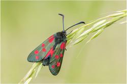 Colour Print - Six-spot Burnet Moth by Ben Freeman
