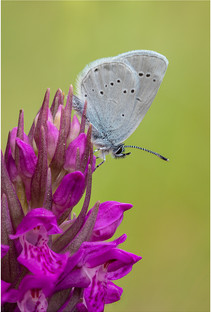 Small Blue on Northern Marsh Orchid