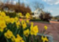 daffodils village.webp