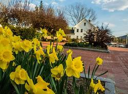 daffodils village