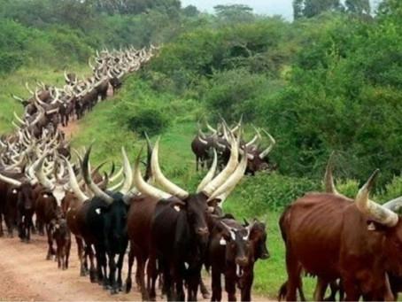 Existe-t-il des Tutsi au Kongo ? Réponse à Ruberwa: Il n'y a pas d'Ubuhake au Kongo./
