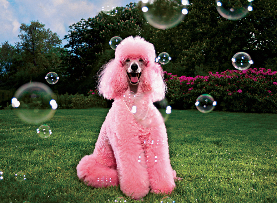 Pink and Poodle