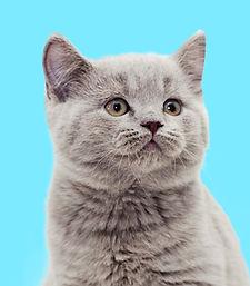 Grey Kitten