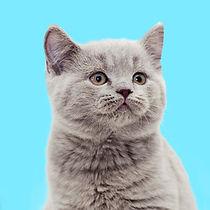 ลูกแมวสีเทา