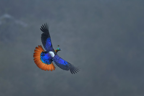 Himalayan monal
