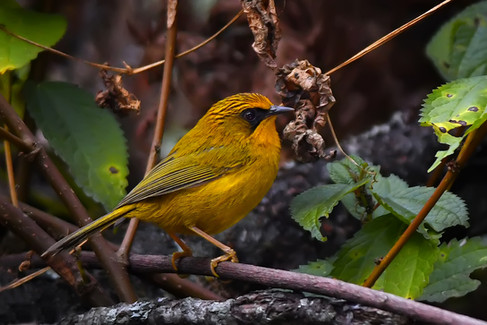 Golden Warbler