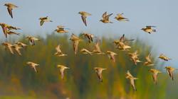 Pasific golden plover