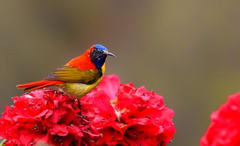Fire-tailed sunbird (Non BR)
