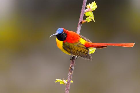 Fire-tailed sunbird (BR Male)