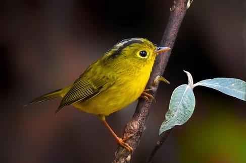 Whistler's warbler