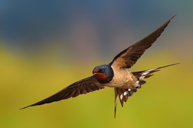 Photographing the Swallows in Flight