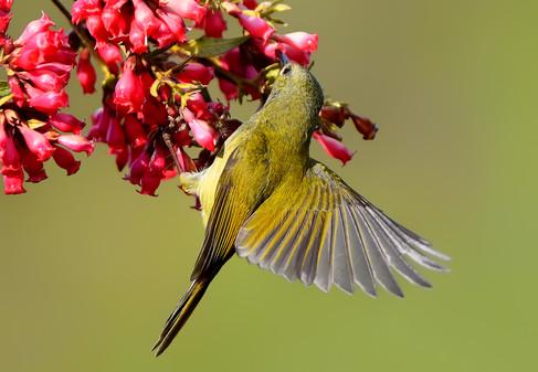 Green-tailed sunbird Female