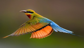 My rendezvous with Blue-tailed Bee-eaters