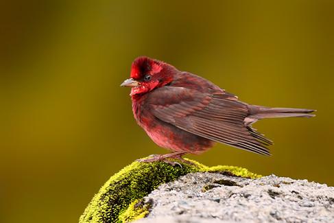 Dark-breasted rosefinch.jpg